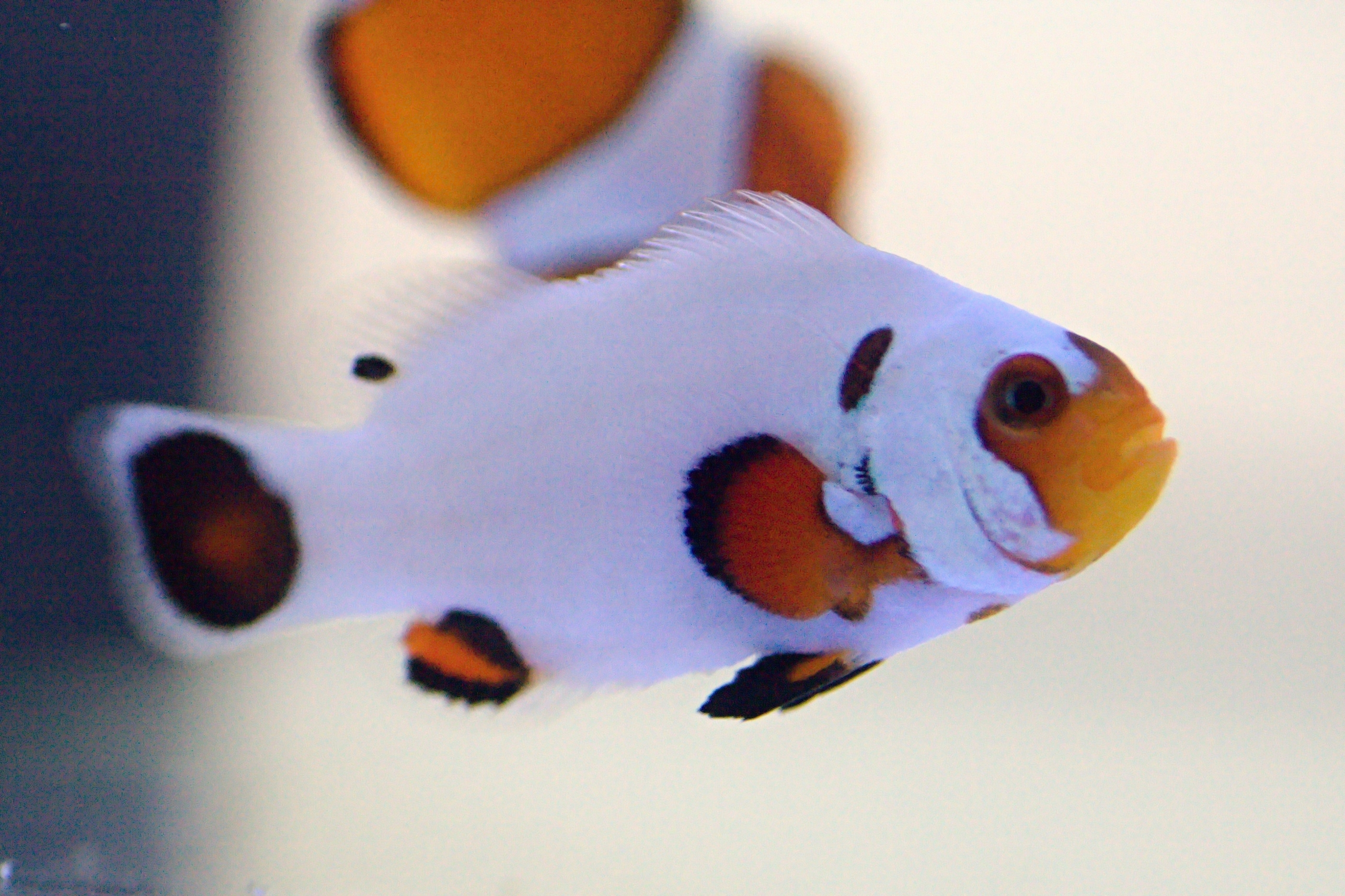 "Amphiprion ocellaris ""Wyoming white"""